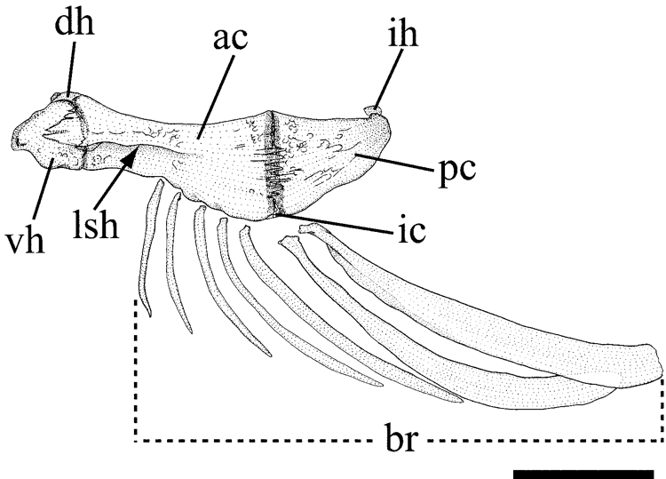 FIGURE 12 in Anatomy and phylogenetic relationships of a new catfish ...