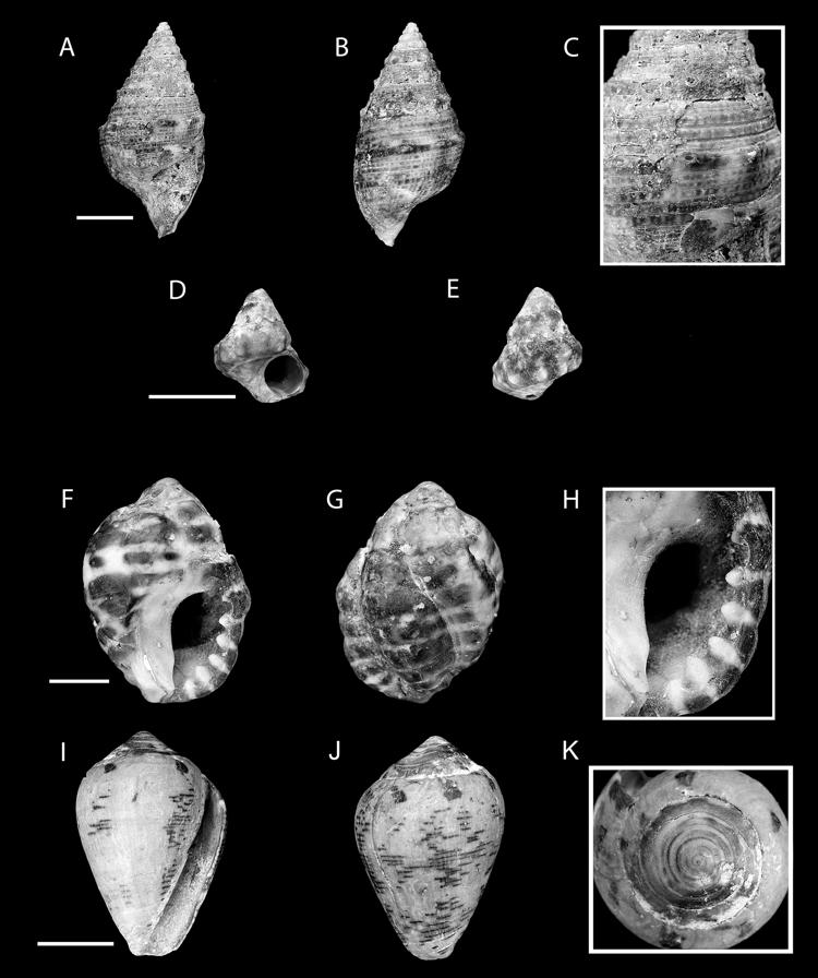 figure 8 in new fossil gastropod species mollusca gastropoda from
