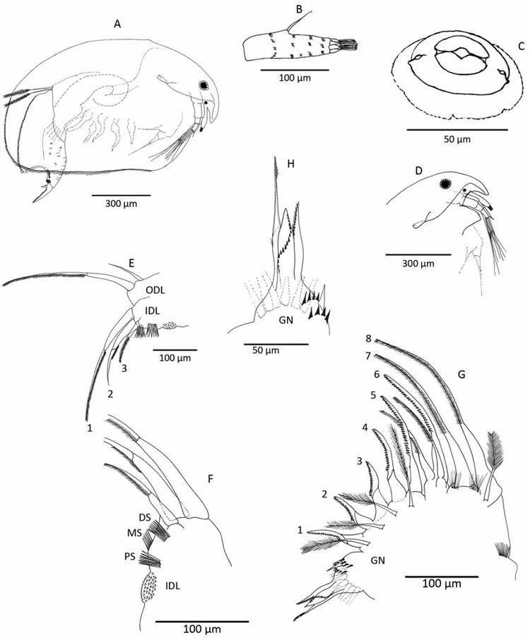 Figure 1 In Eurycercus Bullatifrons Norandinus Crustacea