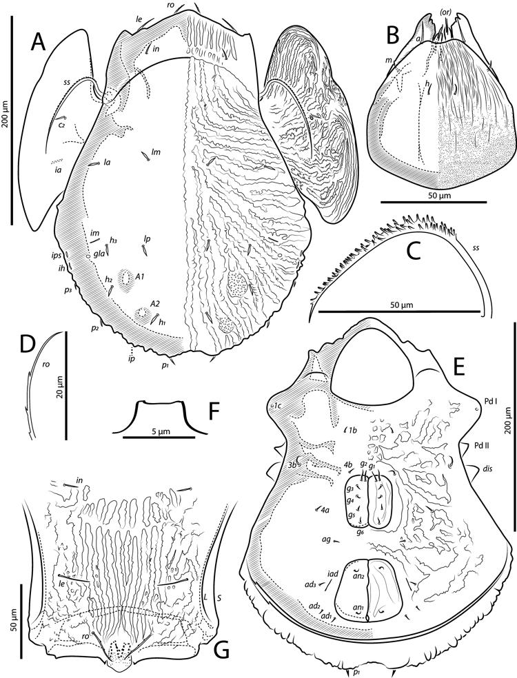 Figure 10 Neopilizetes Tigris N In The Neotropical Mite Genus