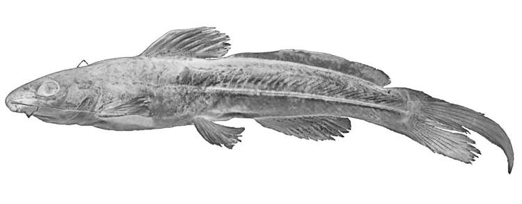 Figure 2 Rhamdella Cainguae N In Anatomy And Phylogenetic