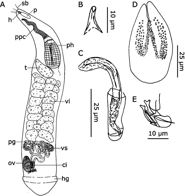 Figure 8 In Kalyptorhynchia Platyhelminthes Rhabdocoela From