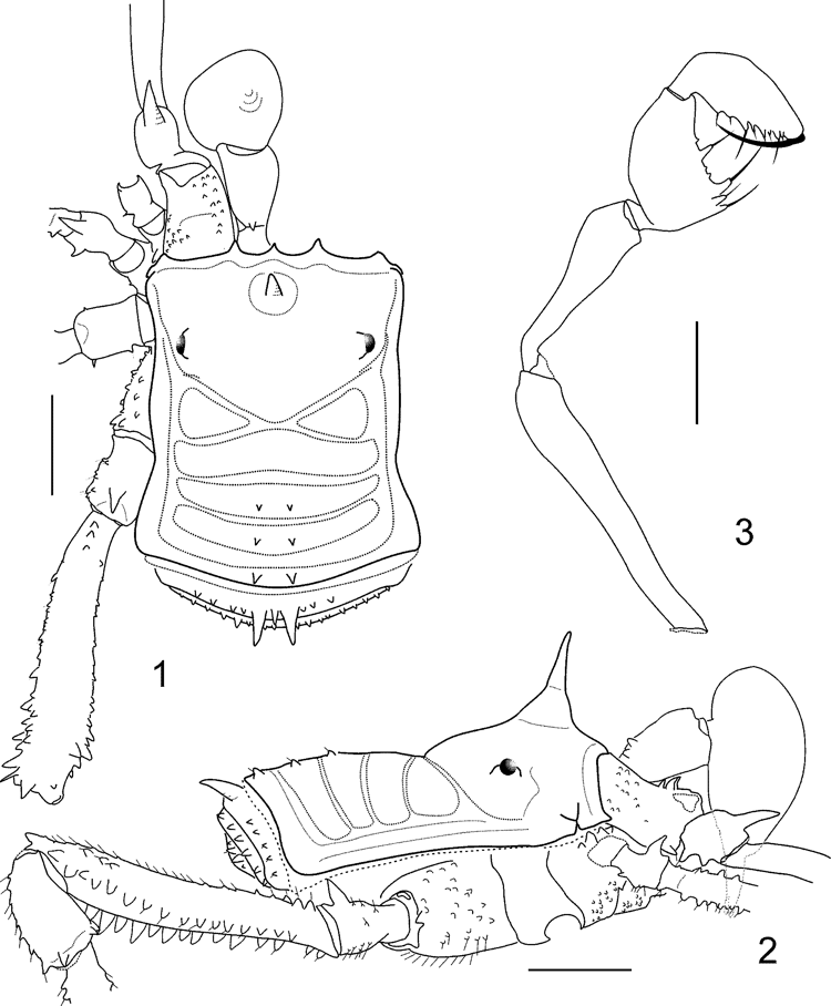 Figures 1 3 In A New Genus Of Stygninae From A Relictual Rainforest In Ceara Northeastern Brazil Opiliones Laniatores Stygnidae Zenodo