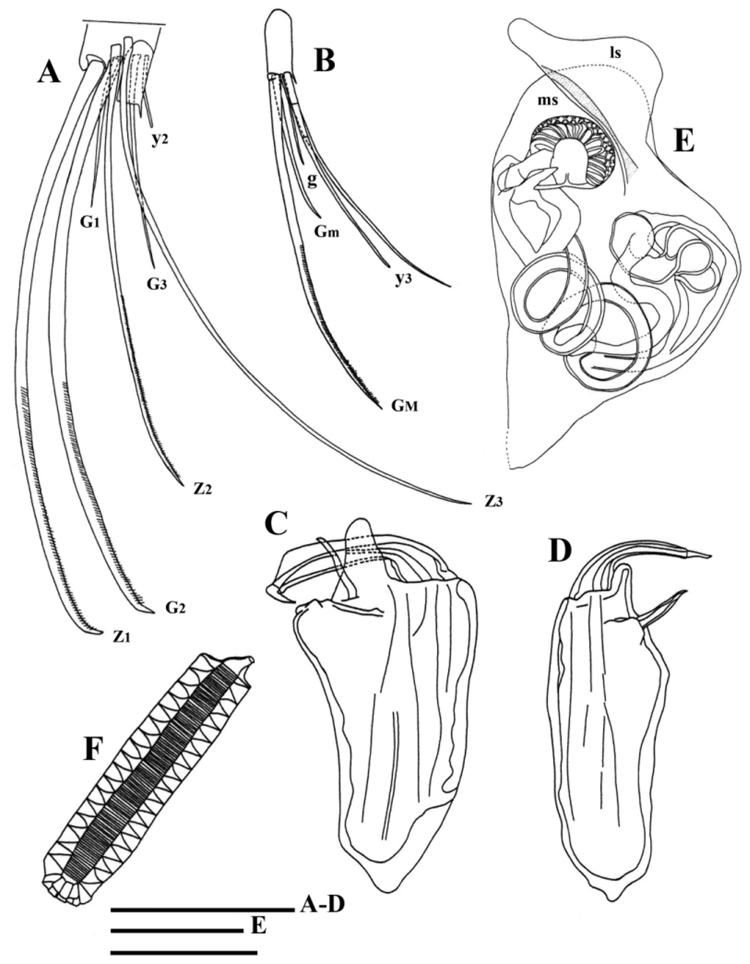 FIGURE 12  Oncocypris rostrata n in On three new species of