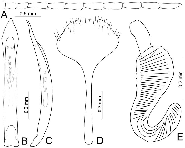 Figures 15 In Revision Of The Genus Morphosphaera Baly Coleoptera