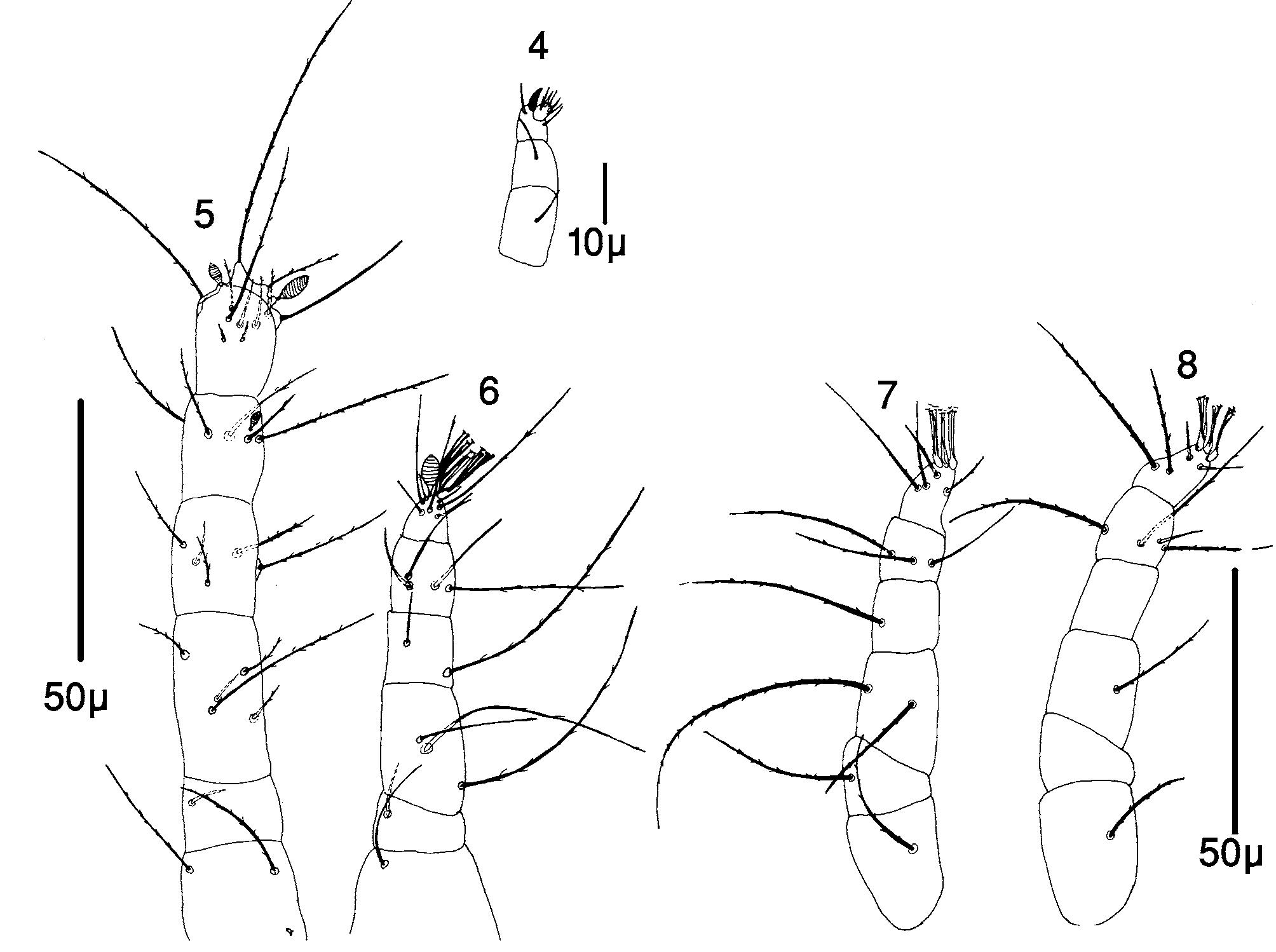 FIGURES 4–8 in A new species of Linotetranus (Acari