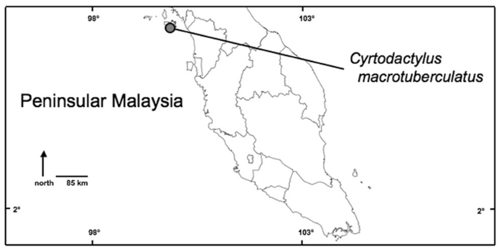 Cyrtodactylus macrotuberculatus Grismer & Ahmad, 2008, sp