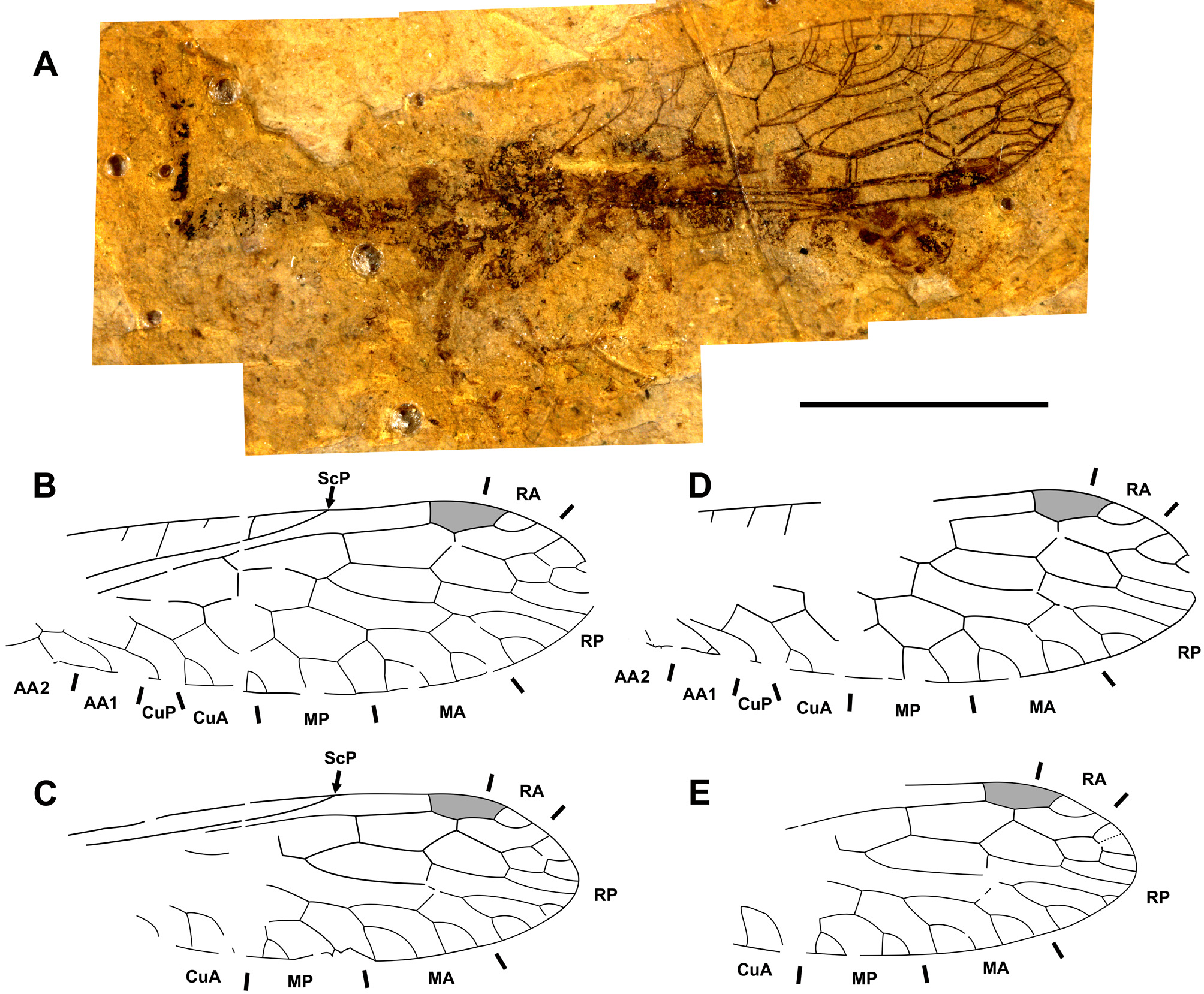 FIGURE 14 in A revision of the late Eocene snakeflies