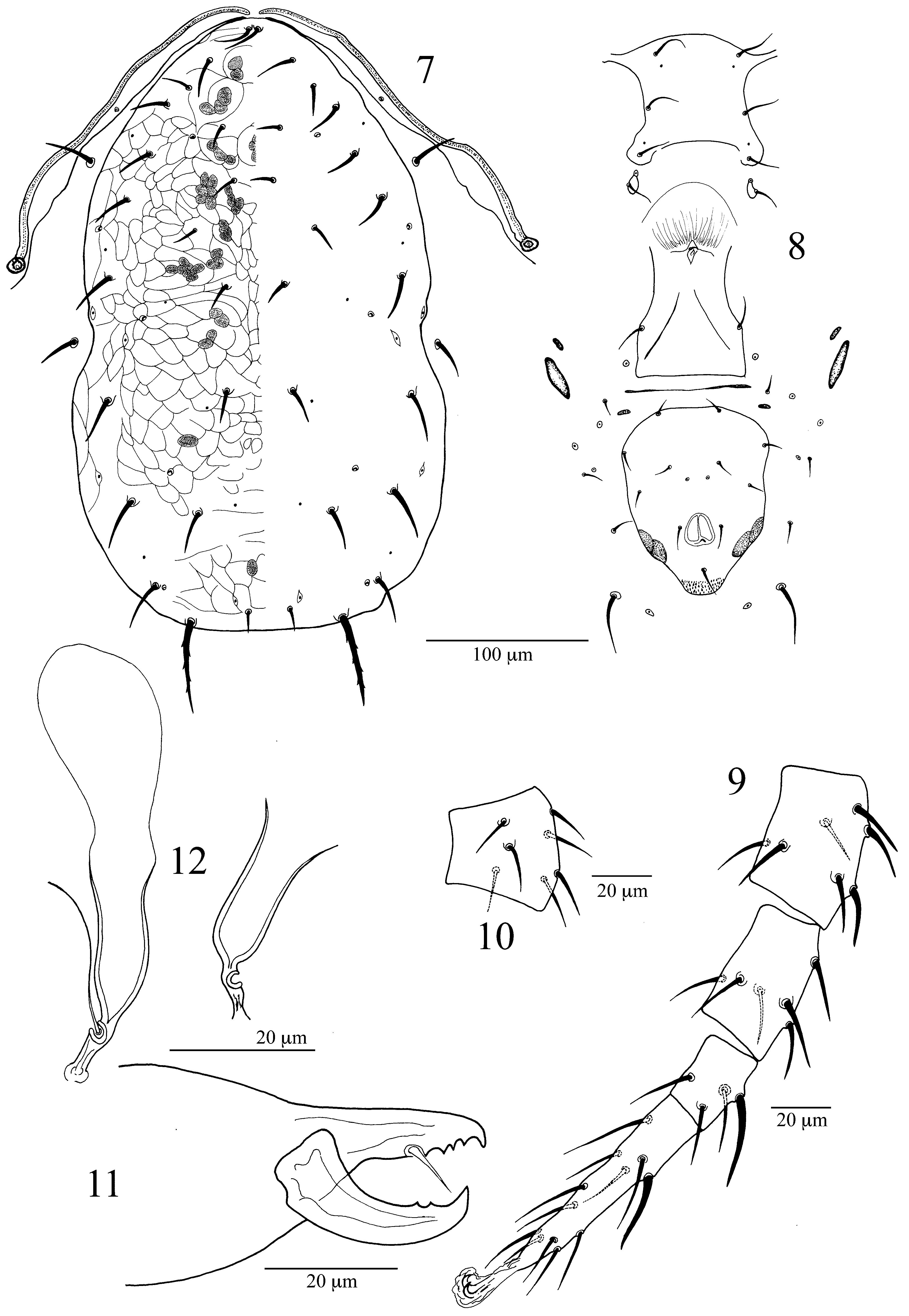FIGURES 7–12 in Mites of the genus Typhlodromus (Acari