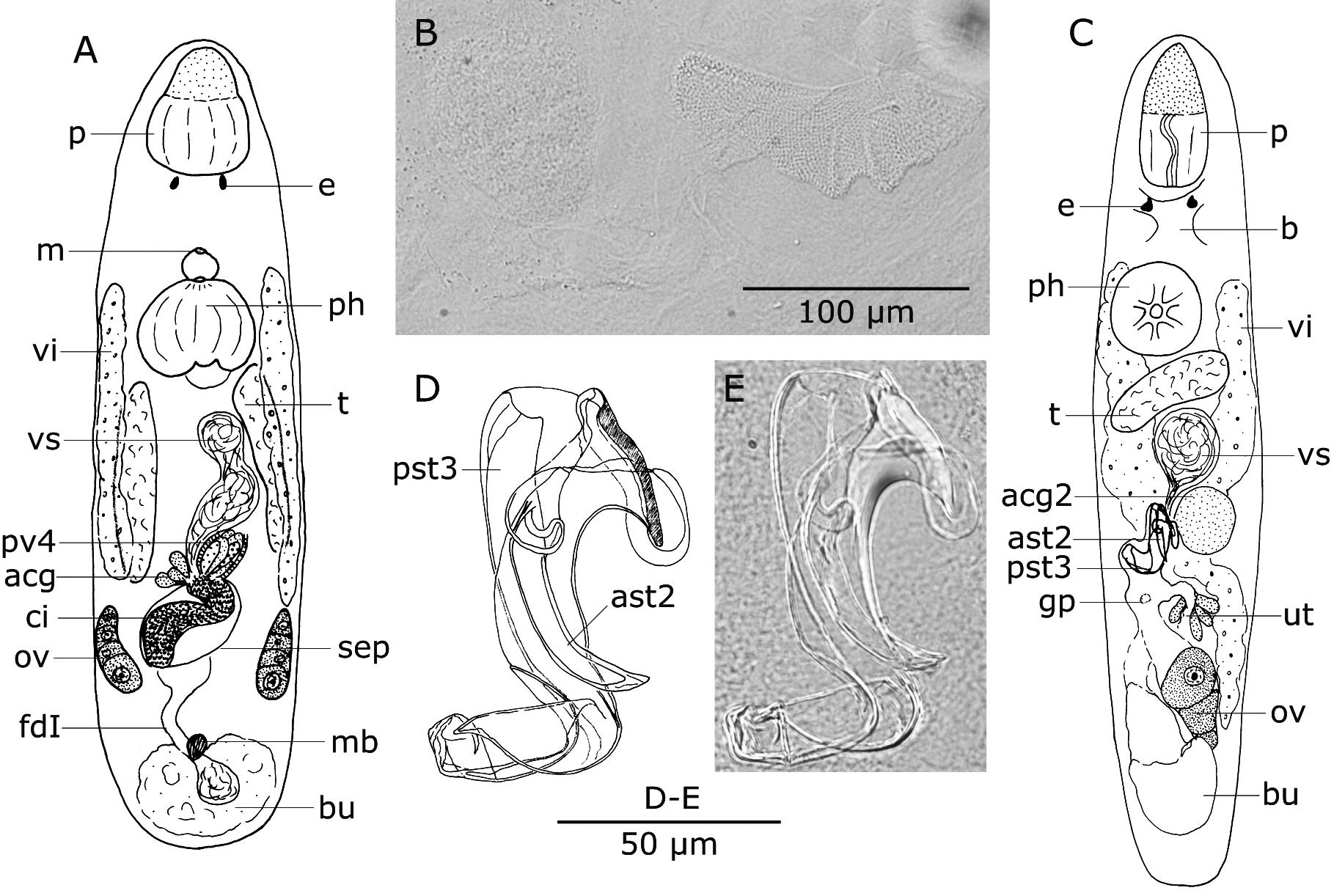 Figure 5 in kalyptorhynchia platyhelminthes rhabdocoela from preview pooptronica Images