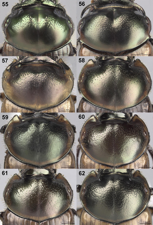 Digitonthophagus bonasus Fabricius 1775 - Plazi TreatmentBank